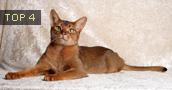 Abisinijos katės informacija,paveiksliukai,vardai,kaina