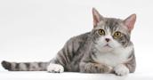 Amerikiečių Wirehair katės informacija,nuotraukos,vardai,kaina