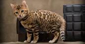 Bengalijos katės informacija,nuotraukos,vardai,kaina