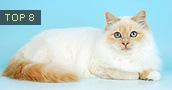 Birmos katės informacija,nuotraukos,vardai,kaina