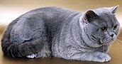 Britų trumpaplaukės katės informacija,nuotraukos,vardai,kaina