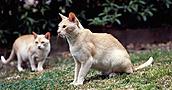 Burmos katės informacija,nuotraukos,vardai,kaina