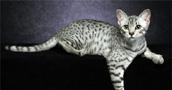 Egipto Mau katės informacija,nuotraukos,vardai,kaina