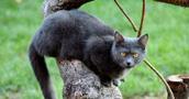 Kartezianinės katės informacija,paveiksliukai,vardai,kaina