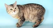 Manksų katės informacija,nuotraukos,vardai,kaina