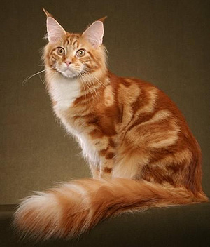 Side Picture Of Maine Coon Cat