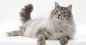 Norvegų miškinės katės informacija,nuotraukos,vardai,kaina