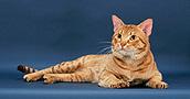 Oksikat katės informacija,nuotraukos,vardai,kaina
