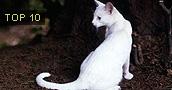 Orientalų (rytų) trumpaplaukės katės informacija,nuotraukos,vardai,kaina
