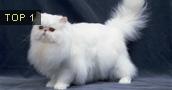 Persų katės informacija,nuotraukos,vardai,kaina