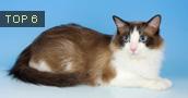 Ragdoll katės (Skudurinė lėlė) informacija,nuotraukos,vardai,kaina
