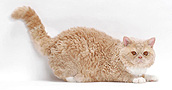 Selkirk Rex katės informacija,nuotraukos,vardai,kaina