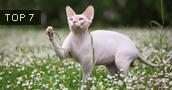 Sfinksai (katės) informacija,paveiksliukai,vardai,kaina