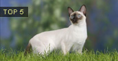 Siamo katės informacija,nuotraukos,vardai,kaina