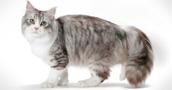 Sibiro katės informacija,nuotraukos,vardai,kaina
