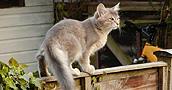 Somalio katės informacija,nuotraukos,vardai,kaina