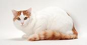 Turkų van katės informacija,nuotraukos,vardai,kaina